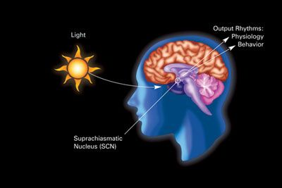Light influencing the SCN receptor
